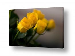 פרחים שושנה | פרחים בקנה
