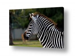 יונקים זברה | שחור לבן בצבעוני