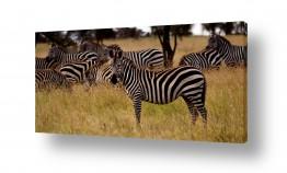 יונקים זברה | שחור לבן שחור