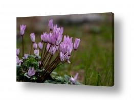 פרחים רקפת   חורף ישראלי