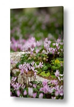 פרחים רקפת   בין הסלעים