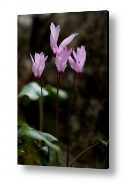 פרחים רקפת   רקפות ביער