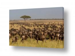 עולם אפריקה | הנדידה הגדולה