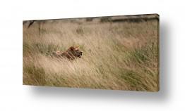 חיות בר אריה | הולך נגד הרוח