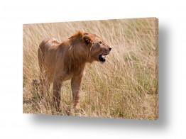 חיות בר אריה | מלך החיות