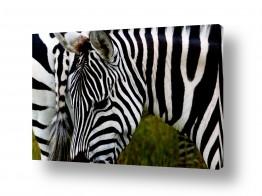 יונקים זברה | שחור לבן