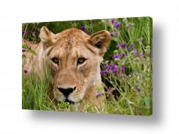 חיות בר אריה | מבט