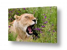 חיות בר אריה | עיניים עצומות לרווחה