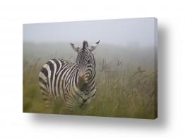 יונקים זברה | זברה בערפל