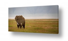 עולם אפריקה | פיל