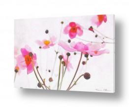 פרחים כלנית | זר