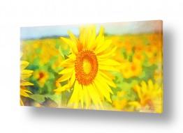 צומח פרחים | חמניה בשדה