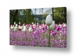 פרחים טוליפ | אחד שניים רבים