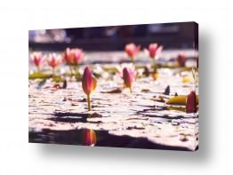 פרחים לוטוס | אור ורוד