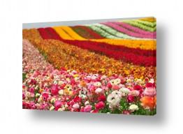 פרחים נורית | גן עדן