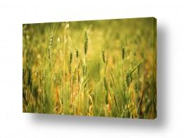 שדות חיטה | ירוק זהב