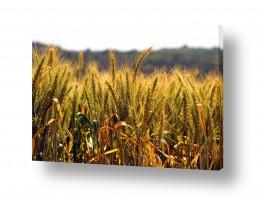 שדות חיטה | שדה זהוב