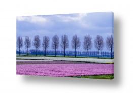אירופה הולנד | ניחוח היקינטון
