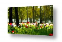 פרחים כלנית | יום אחרי הגשם 2