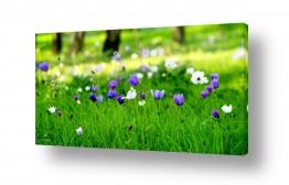 שדה ירוק ירוק | מופע בסגול לבן