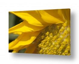 צמחים פרחים | חמניות 3