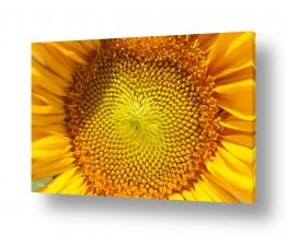 צמחים פרחים | חמניות 8