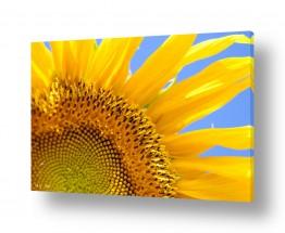 צמחים פרחים | חמניות 15