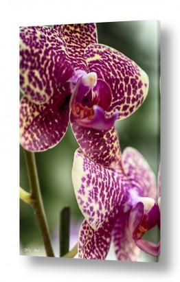צמחים פרחים | סחלבים 5