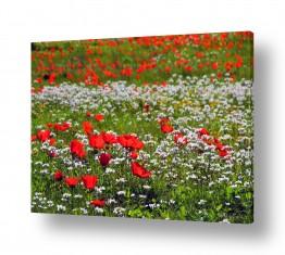 פרחים כלנית | שדה כלניות 1