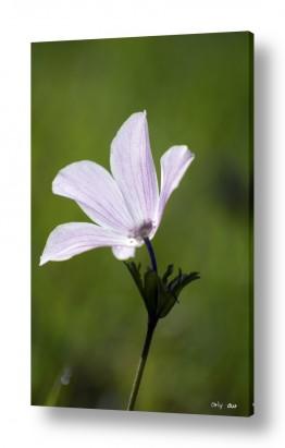 פרחים כלנית | כלנית 2