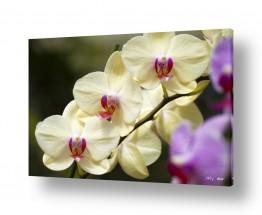 צמחים פרחים | סחלבים 13