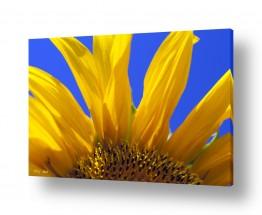 צמחים פרחים | חמניות 4