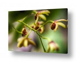 פרחים סחלב | סחלבים 6
