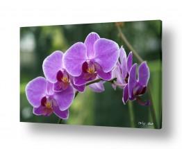 צמחים פרחים | סחלבים 17