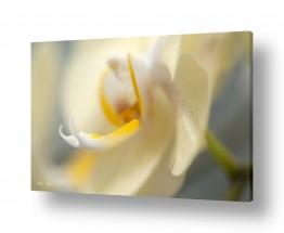 צמחים פרחים | סחלבים 12