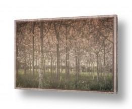 צמחים יער | פאולינות 2