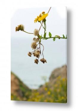 צילומים אורטל פרץ | פרח בהר