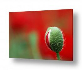 פרחים פרגים | לב אדום