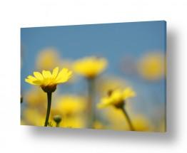 צילומים טבע | חלום צהוב