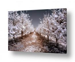 צמחים עץ | המטע הלבן