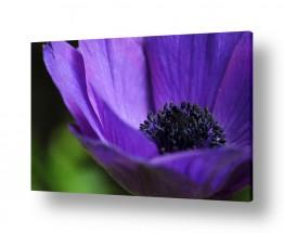צמחים פרחים | סגול בעיניים