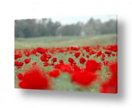 פרחים פרחים בצבעים | חלום אדום