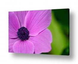 פרחים אבקנים | כלנית סגולה