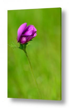 פרחים כלנית | הפרח הנעלם