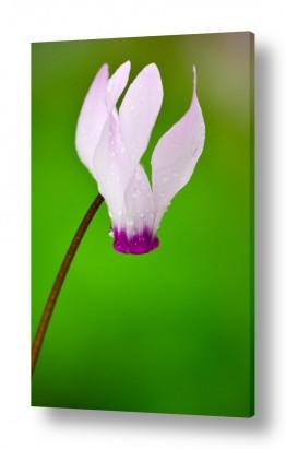 פרחים רקפת | רקפת נוטפת
