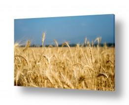 שדות חיטה | שדות החיטה