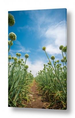 פרחים גבעולים | שדה הבצל
