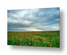 פרחים פרגים | שדה פרג