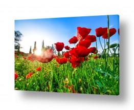 פרחים פרגים | פריחת הפרג