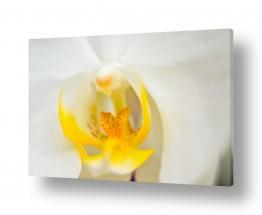 פרחים סחלב | הסחלב